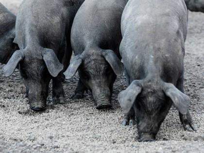 Den iberiske grisen
